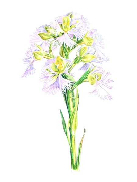 Eastern-prairie Fringed Orchid